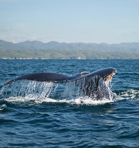 Cruceros de avistamiento de ballenas en Puerto Vallarta